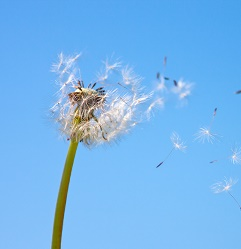 Dandelion being blown by the wind